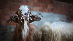 Hypnotised goat. Brown goat looking to above - Close up animal portrait Stock Photos