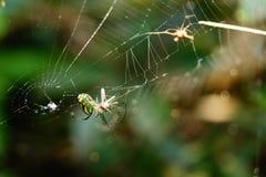Hypnotisera fotografiet av en färgrik spindel som har lunch Royaltyfri Bild
