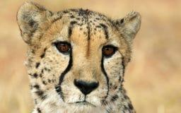 hypnotisk cheetah Royaltyfri Bild