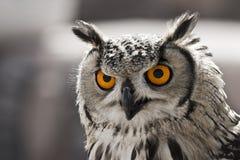 hypnotisk owl Fotografering för Bildbyråer