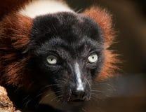 Hypnotizing Lemur Look. A Detailed shot of lemur male focused look Royalty Free Stock Photo