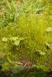 Hypnum del musgo Foto de archivo