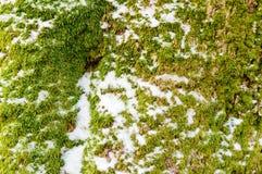 Hypnum moss Stock Photography