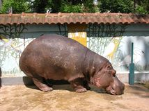 Hypo. Big old hippopotamus Stock Photography