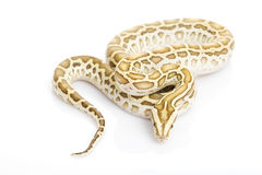 Hypo Burmese Python Stock Photography