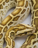 Hypo Burmese Python Royalty Free Stock Photo