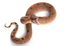 Hypo Central American Boa Royalty Free Stock Image