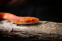Hypo fire corn snake Stock Image