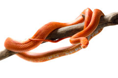 Hypo fire corn snake Stock Images