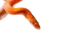 Hypo fire corn snake Stock Photography
