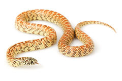 Hypo Florida Kingsnake Stock Photography