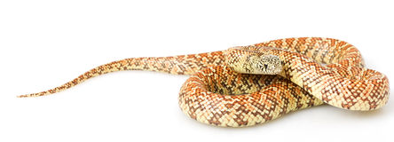 Hypo Florida Kingsnake Stock Photos