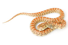 Hypo Florida Kingsnake Royalty Free Stock Image