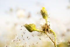 Hypochaeris w kwiacie Fotografia Royalty Free