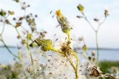 Hypochaeris w kwiacie Zdjęcia Stock