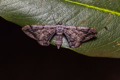 Hypochrosis binexata moth Royalty Free Stock Photography