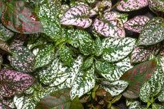 hypoestes το phyllostachya ζωηρόχρωμο βγάζει φύλλα στοκ εικόνες