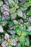Hypoestes-phyllostachya Bäcker lizenzfreies stockbild