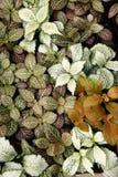 Hypoestes phyllostachya. Polka Dot Plants (Hypoestes phyllostachya Royalty Free Stock Images