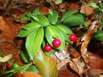 Hypoglossum Ruscus Ruscus Стоковое Изображение