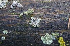 Hypogymnia physodes Zdjęcie Royalty Free