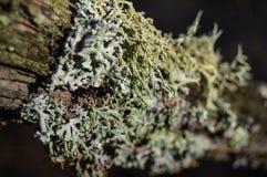 Hypogymnia physodes Royaltyfri Foto