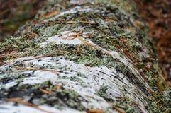 Hypogymnia physodes Royaltyfri Fotografi