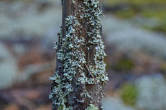 Hypogymnia physodes. Stock Images