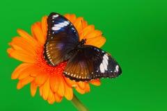 Hypolimnas bolina on gerber Royalty Free Stock Photography