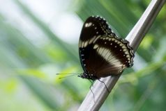 Hypolimnas bolina jacintha lub błonia eggfly motyl obrazy royalty free