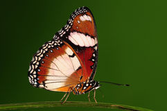 Hypolimnas misippus/male/butterfly Royalty Free Stock Photos