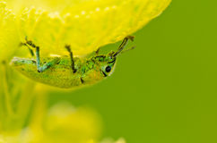 Hypomeces squamosus (Green weevil) Stock Photo
