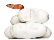 Hypomelanistic milk snake or milksnake Royalty Free Stock Images