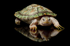 Hypomelanistic red-eared slider Royalty Free Stock Image