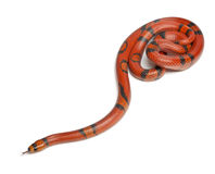 Hypomelanistique Honduran milk snake Royalty Free Stock Photo