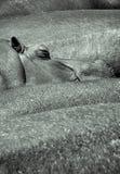 Hypopotamus dosypianie zdjęcia stock