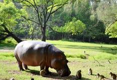 Hypopotamus i djungeln Royaltyfri Foto
