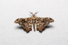 Hyposidra violescens moth Royalty Free Stock Images