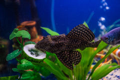 Hypostomus plecostomus eating cuncumber Royalty Free Stock Photos