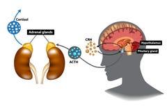 Hypothalamic-hypofys-binjur- HPA-axel royaltyfri illustrationer