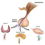 The hypothalamic pituitary axes royalty free illustration
