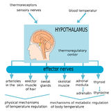 Hypothalamus. The figure summarizes the function of structures involved in the regulation of body temperature through the hypothalamus Royalty Free Stock Photo