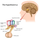 The hypothalamus. The nuclei of the hypothalamus, eps10 Stock Images