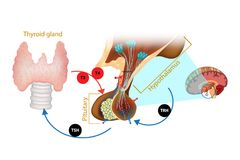 Hypothalamus Pituitary Thyroid Hormone. The system of the thyroid hormone vector illustration