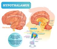 Hypothalamus vector illustration. Labeled diagram with brain part structure. Isolated closeup with pituitary gland parts. Scheme with nucleus, chiasma, and vector illustration