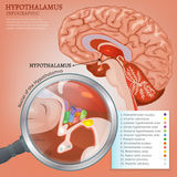 Hypothalamus Vector Image. Hypothalamus infographic image. Detailed anatomy of the human brain cross section. Vector illustration in bright colours on a light Stock Images