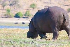 Hyppo i Botswana Royaltyfria Foton