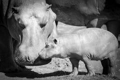 Hyppo-Junges mit seiner Mutter lizenzfreies stockbild
