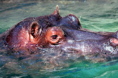 HYPPOPOTAMUS. In water, head shot,close up Stock Images