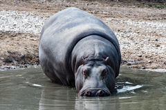Hyppopotamus hippo close up portrait Royalty Free Stock Image